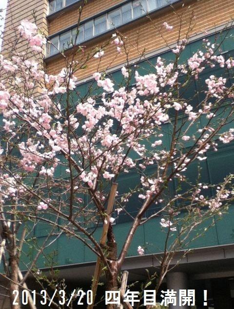 2013/3/20  しらたまさくら 満開の春を迎えた。