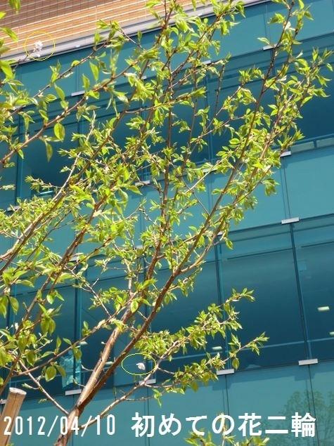 2012/4/10  3年目の春、待望の花が咲いた。二輪である。