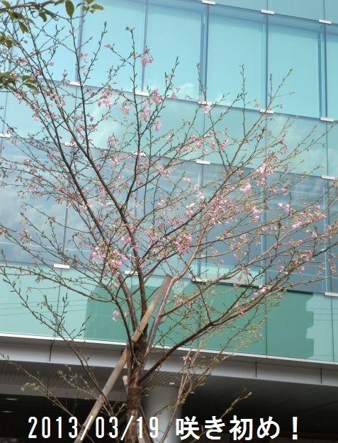 2013/3/19  4年目の咲き初め。いっぱいに蕾がある。