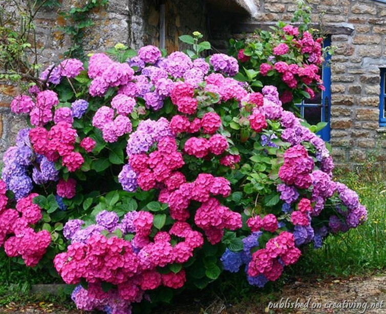 Цветы гортензия цветы садовые