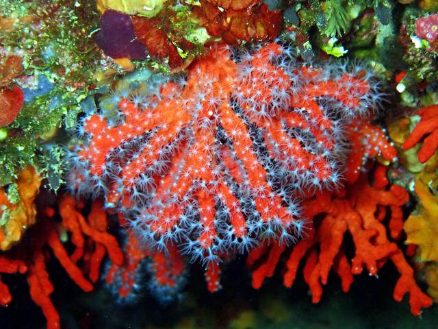 Corail rouge avec ses polypes