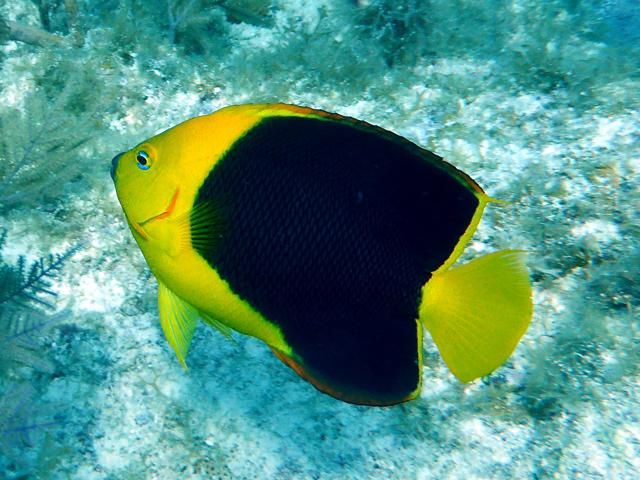 Poisson-ange tricolore