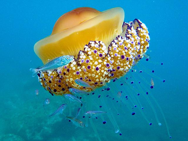 Méduse oeuf au plat avec petits chinchards ...