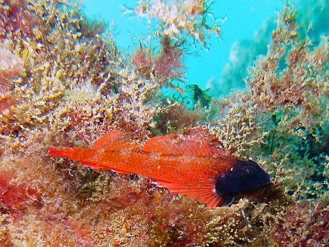 Triptérygion mâle rouge