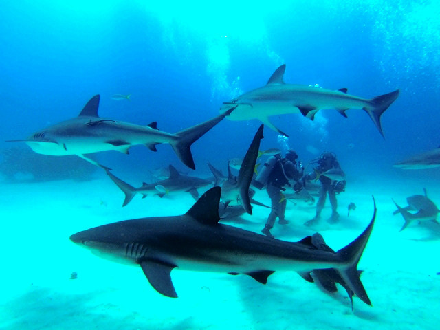 Requins des Caraïbes