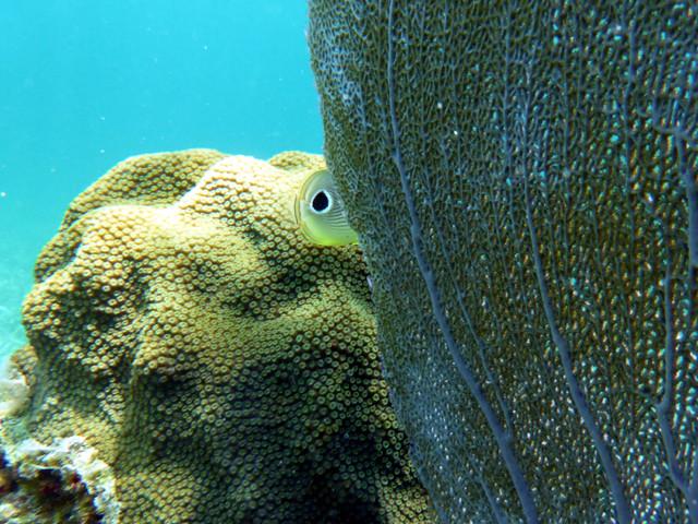 """""""Oeil"""" d'un poisson-papillon passant derrière une gorgone ..."""
