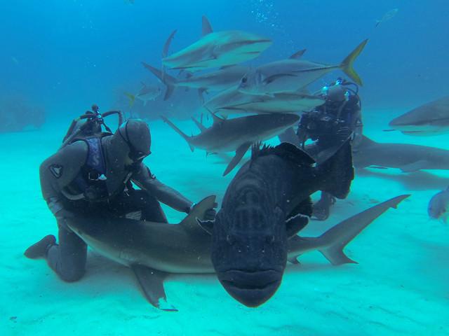 Requins des Caraïbes et Mérou