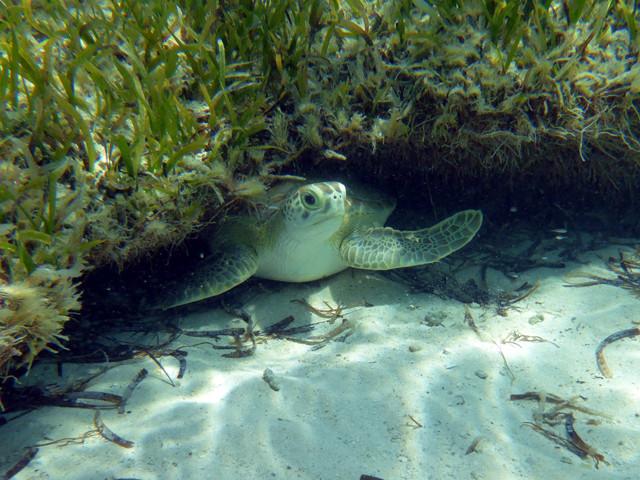 Jeune tortue verte sous un platier ...