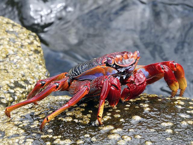 Crabe de l'Atlantique