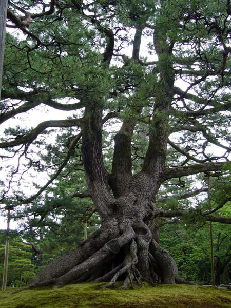 根張りがなんともいえないクロマツの巨木