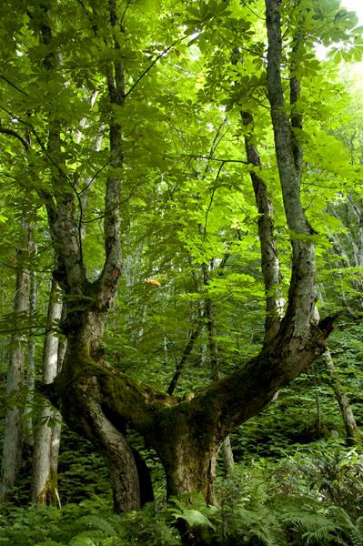 森の精のようなトチノキの巨木