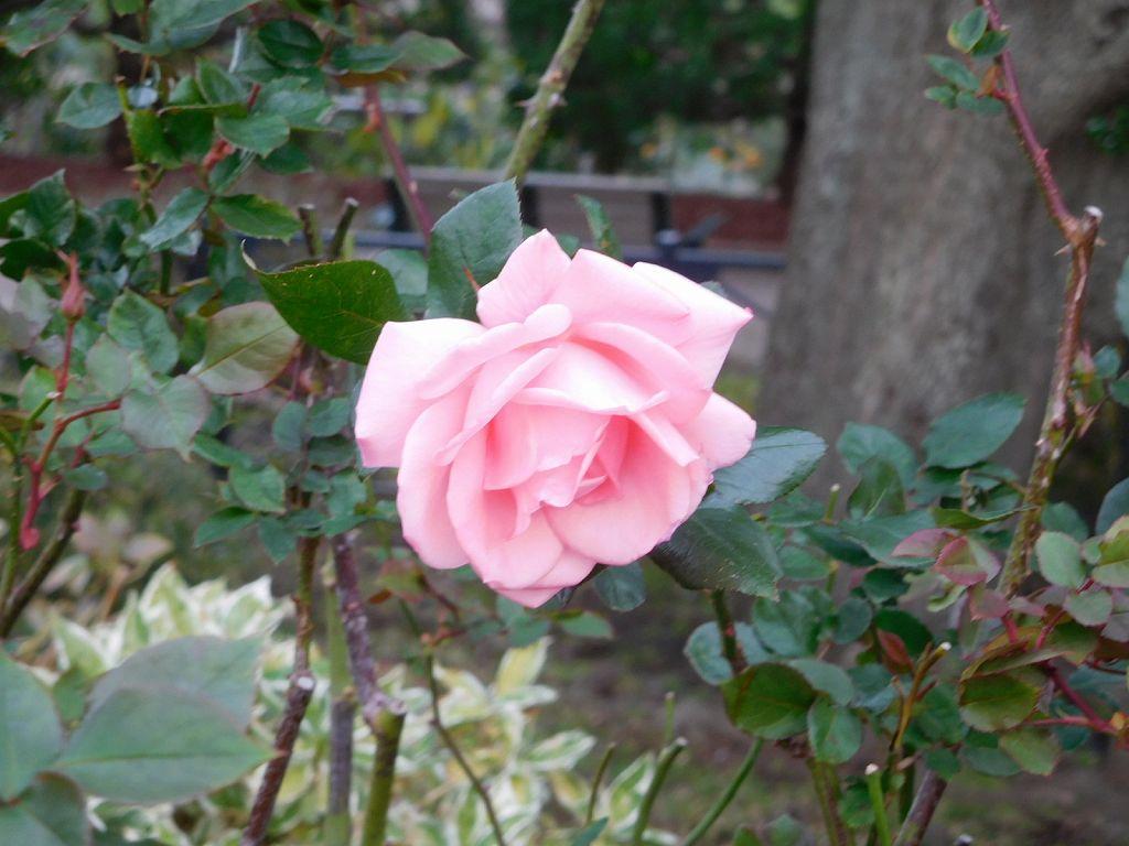 イギリス館の年末のバラ