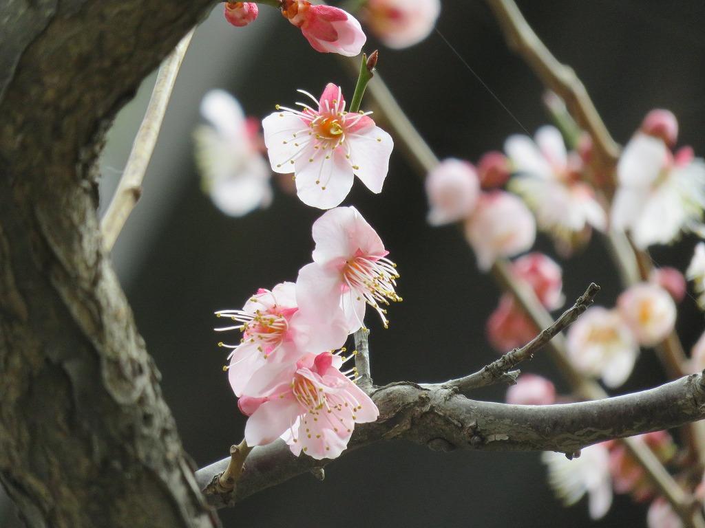 ピンクの桃の花