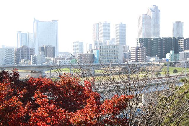 多摩川沿いから見る高層ビル 手前の紅葉が綺麗です