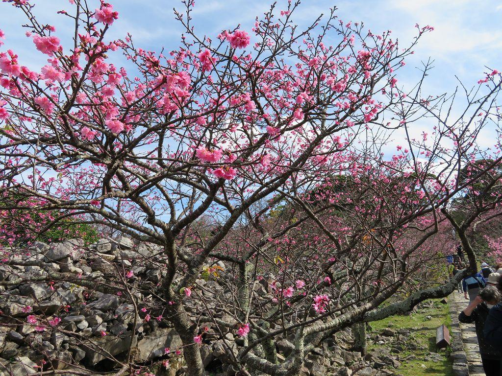 桜祭りが始まります
