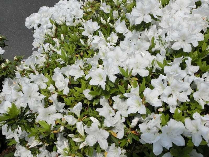花水木の下には白躑躅が綺麗に咲いており自然に笑顔に!!