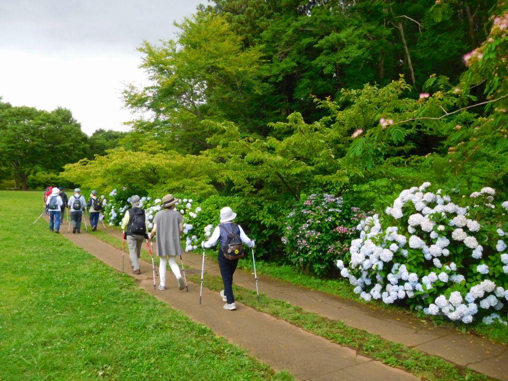 公園の平地に戻ると紫陽花で癒される