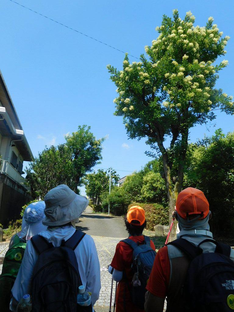 大きな「槐」を見上げる