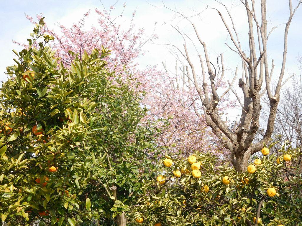 この御宅の庭には柑橘類が鈴生りです