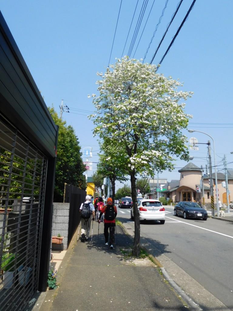 花水木の街路樹を愛でつつウォーキング