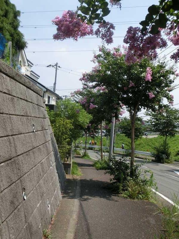 そろそろ百日紅街路樹も終わり江田駅に向かいます