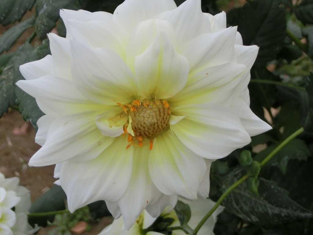 この白い花もハイブリッド皇帝ダリアです