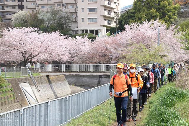 目久尻川遊歩道の桜アーチをウォーキング
