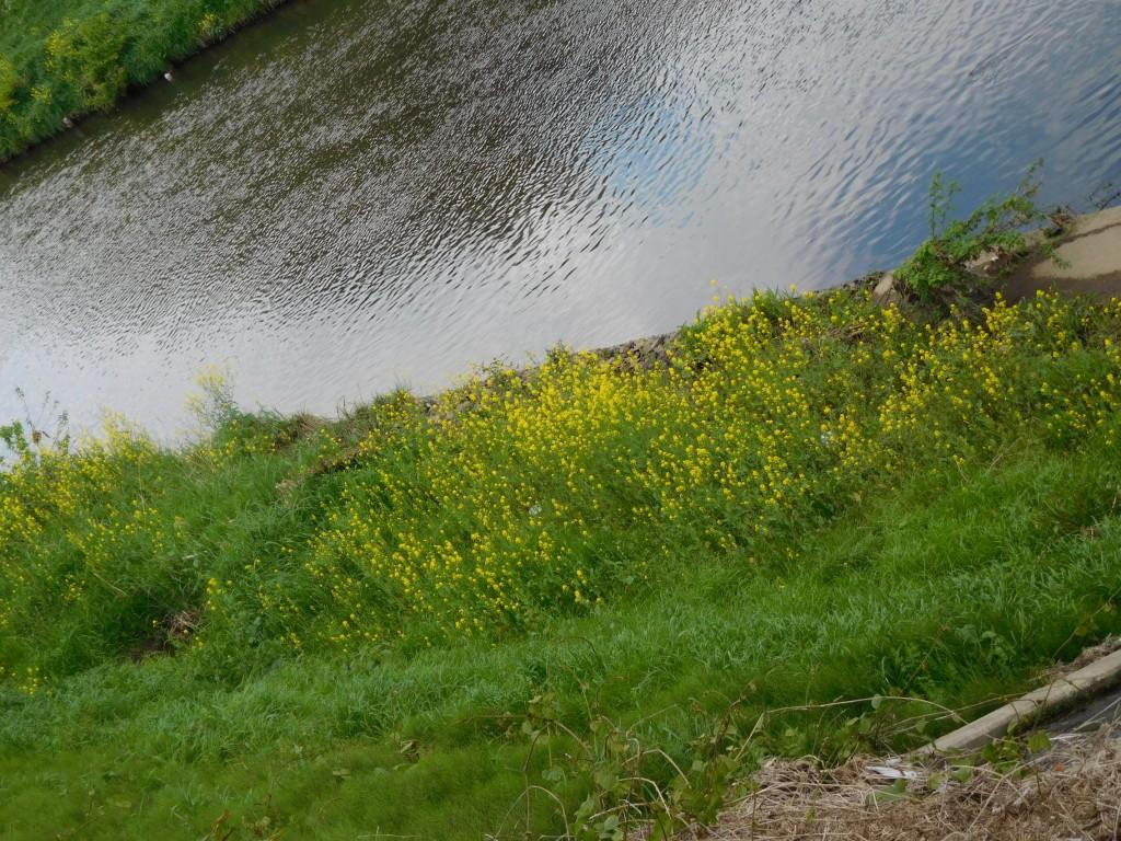 答え:川岸に菜の花が咲いていました
