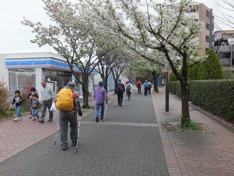 鴨池公園を過ぎた住宅街では両側に桜並木