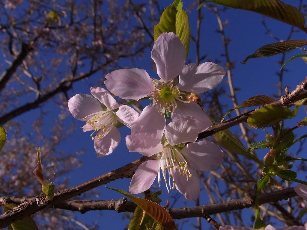 ヒマラヤ桜も咲き始めていました