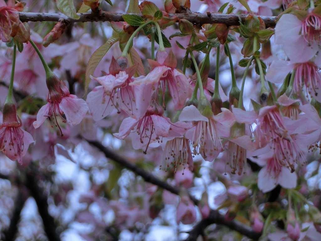 藤ヶ丘地区センターのヒマラヤ桜 最近 木の衰えか葉が早く付いて見事さに少し欠けるがメジロも毎年来ている