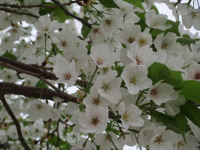 渋谷第三公園では見事な大島桜