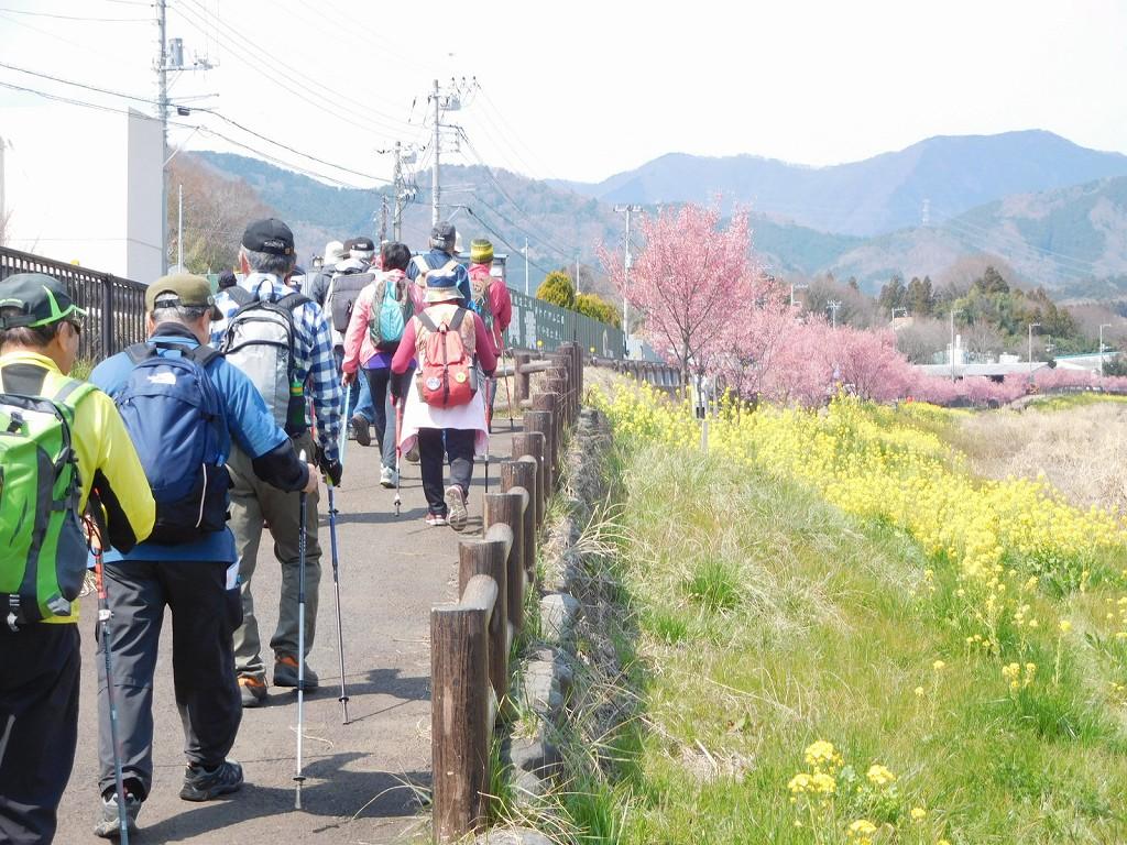 歩いても歩いても菜の花と桜 凄いの一言!!
