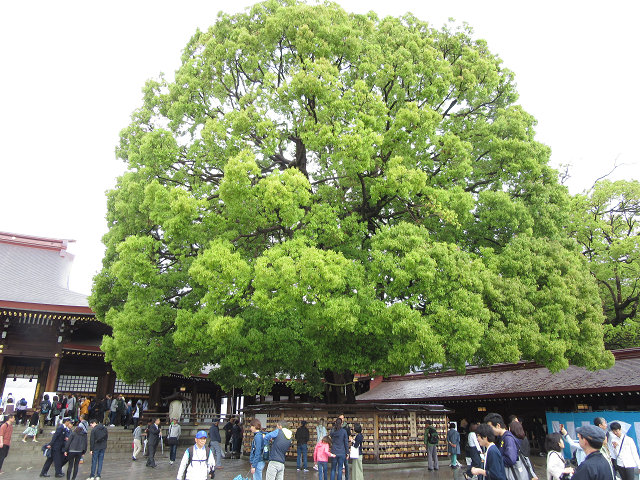 大きな樹ですね 欅ですかね
