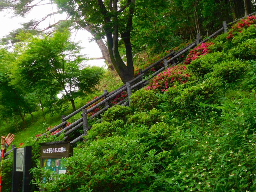 もえぎ野ふれあい樹林入口は 躑躅が咲いて綺麗です
