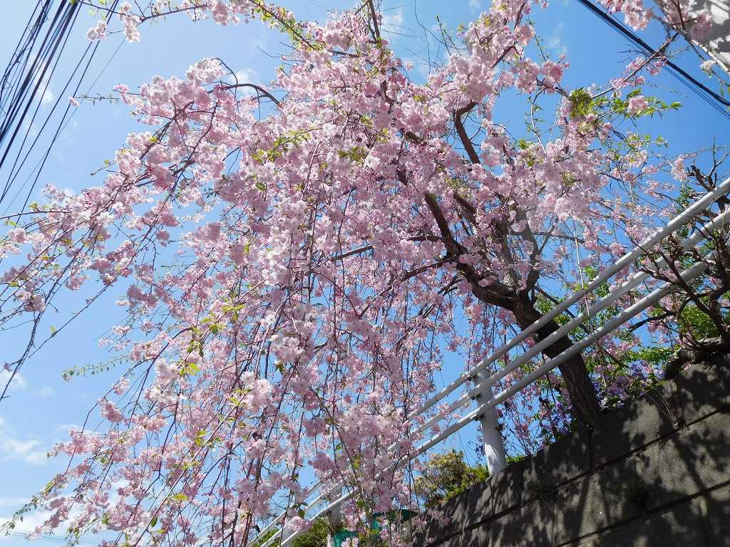 枝垂桜も綺麗に咲いてます