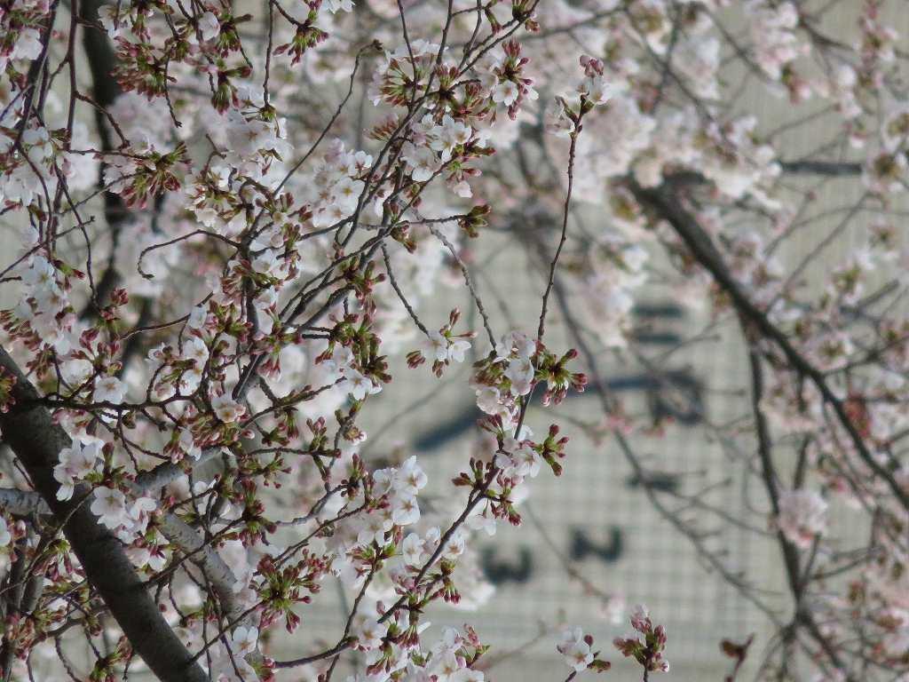 時計台の桜