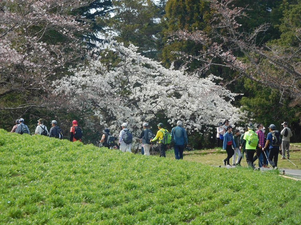 大島桜か花色が白い