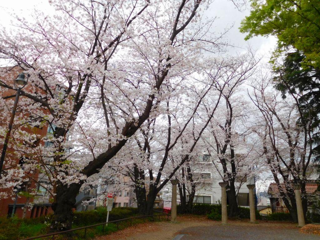 長谷第一公園の桜 満開ですね