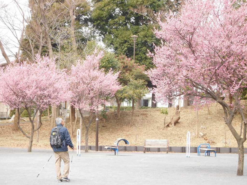 泉天ケ谷公園は紅梅が満開です
