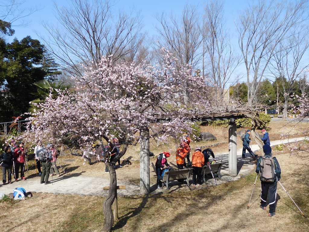 小黒公園の枝垂れ梅を愛で休憩