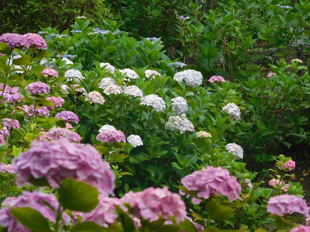 紫陽花も満開で一班の参拝者も大勢来られています