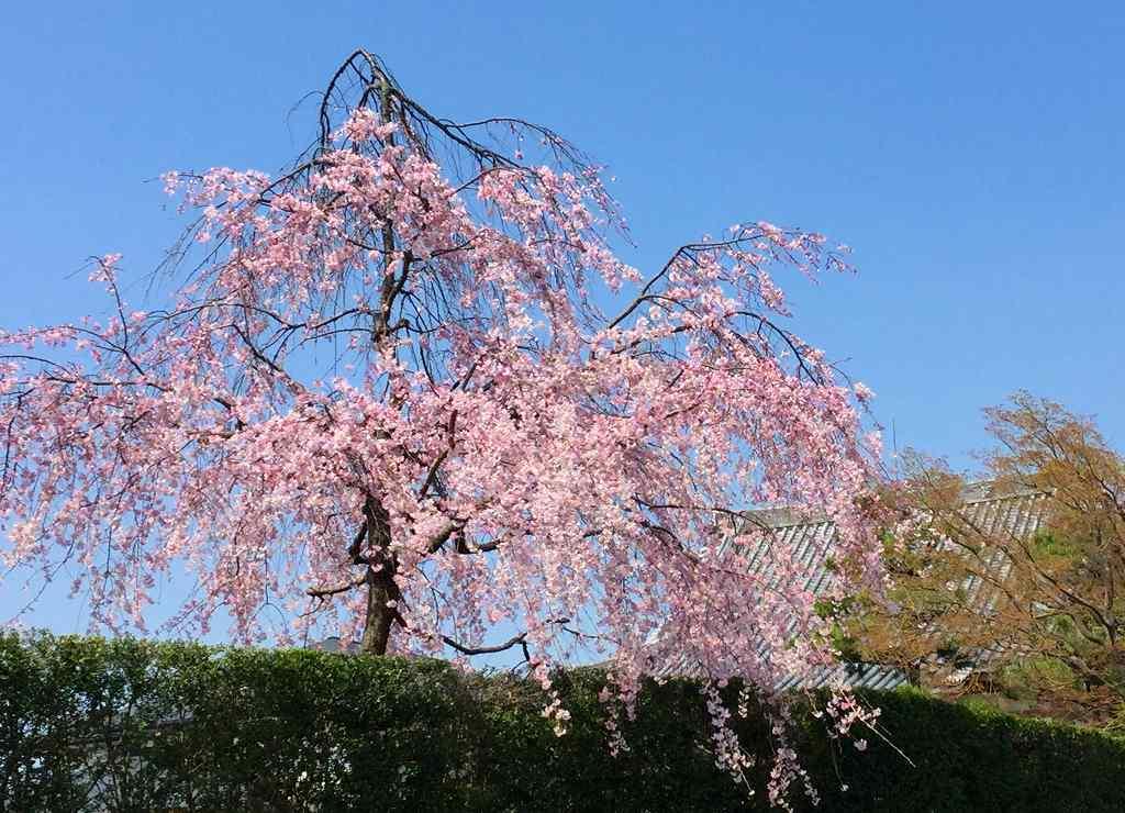 盛園寺のしだれ桜