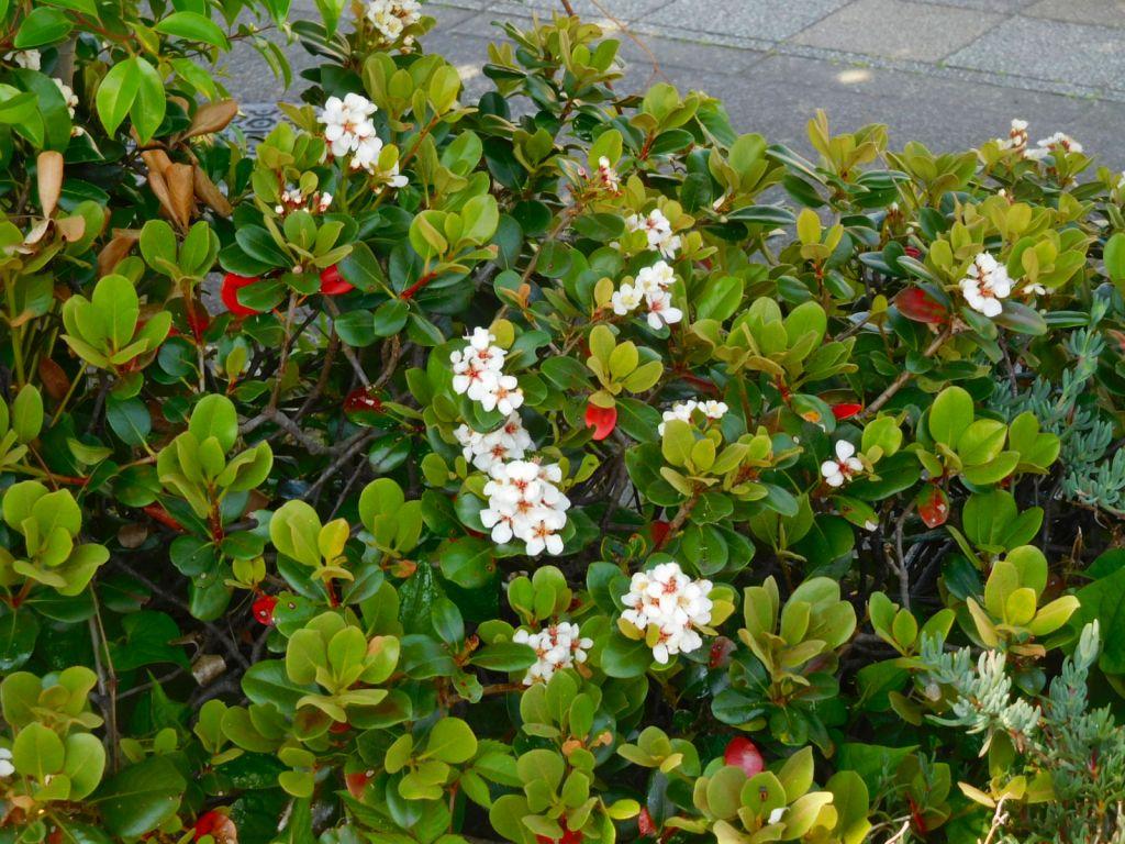 同 シャリンバイも咲いてます