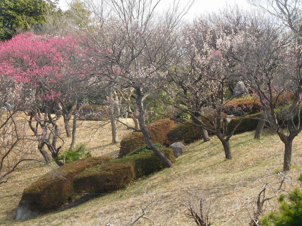 頂上からの梅の樹木