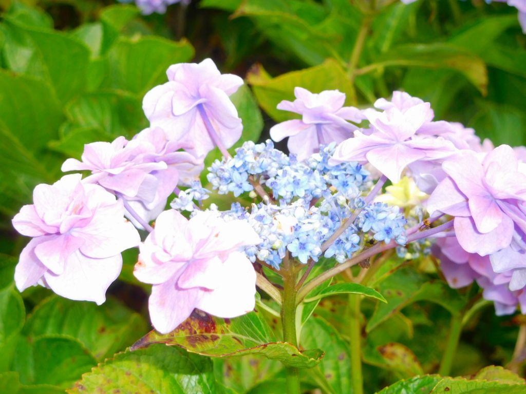 その他にも色々な種類の紫陽花が咲いていました