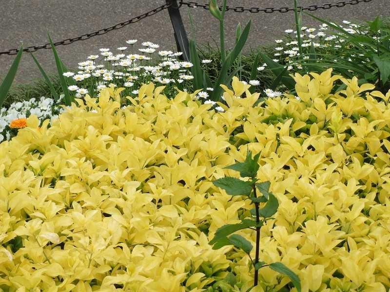何の木か不明ですが、黄色の葉が花のように綺麗です