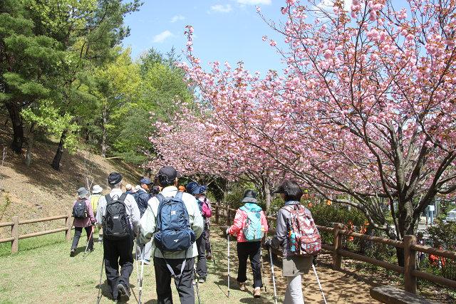 お花見広場周辺の桜