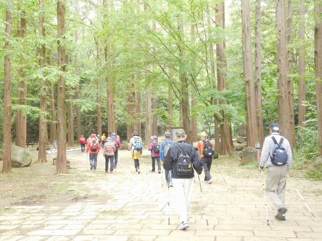 メタコセイアの林を歩く