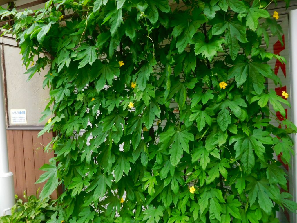 苦瓜のグリーンカーテンに黄色の花が咲いてます